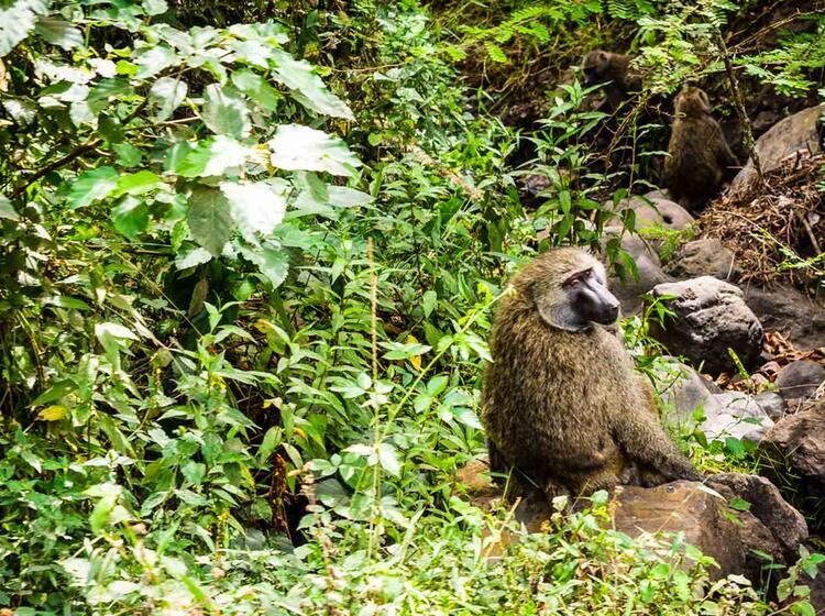 Affen Am Wege Zum Kilimandscharo