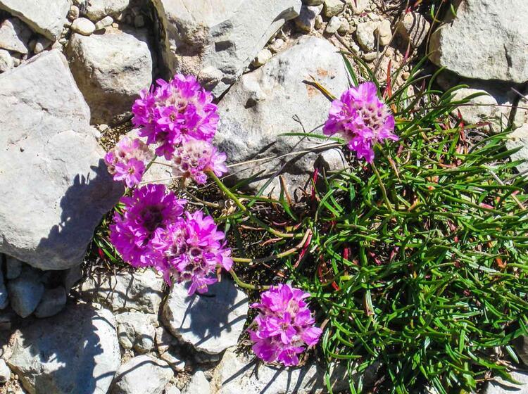 Alpine Pflanzenwelt Der Dolomiten