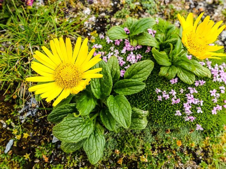 Blumen Auf Der Tour Du Mont Blanc