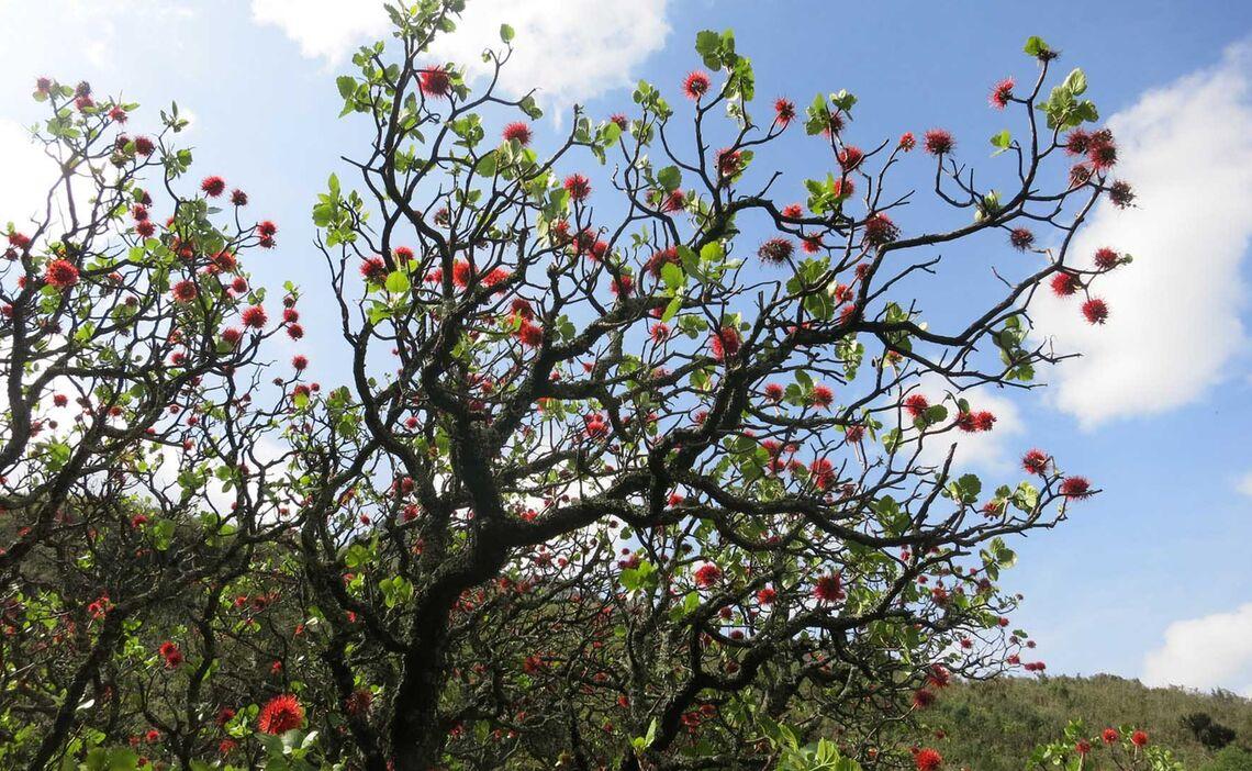 Drakensberge Bottlebrush