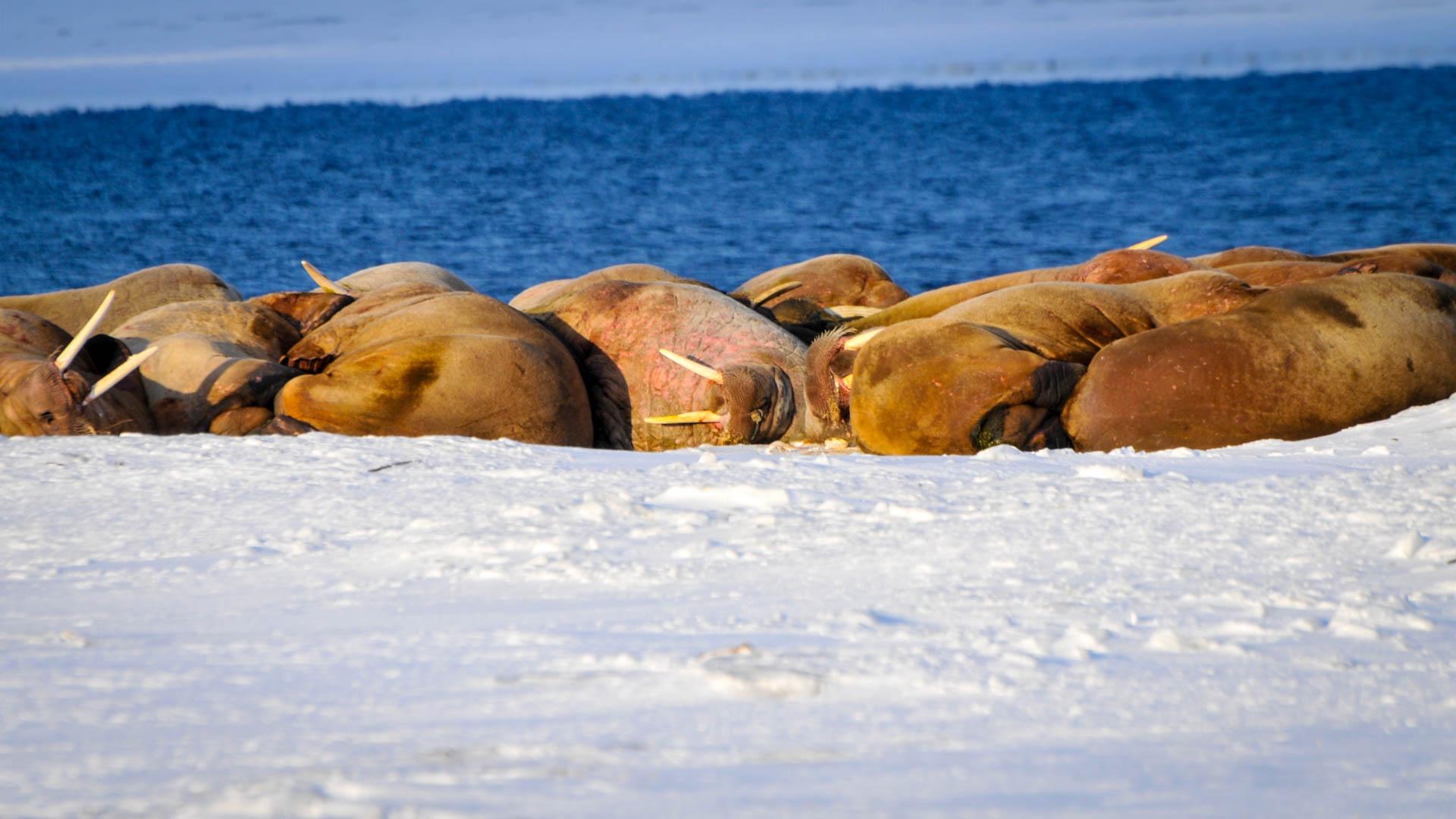 Walrösser Spitzbergen