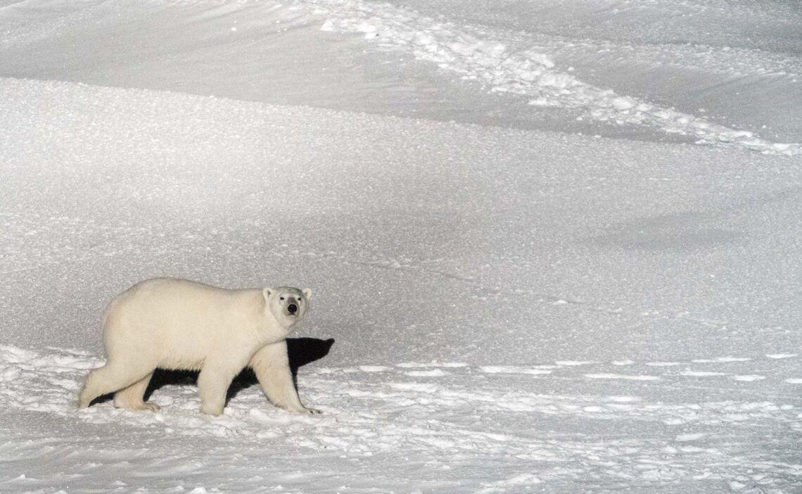 Ein Polarbaer Streicht Um Das Forschungsschiff Polarstern Waehrend Der Mosaic Expedition