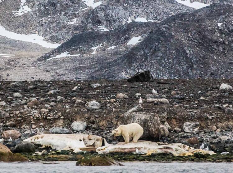 Eisba Ren Auf Spitzbergen Auf Der Wander Und Naturreise In Die Arktis