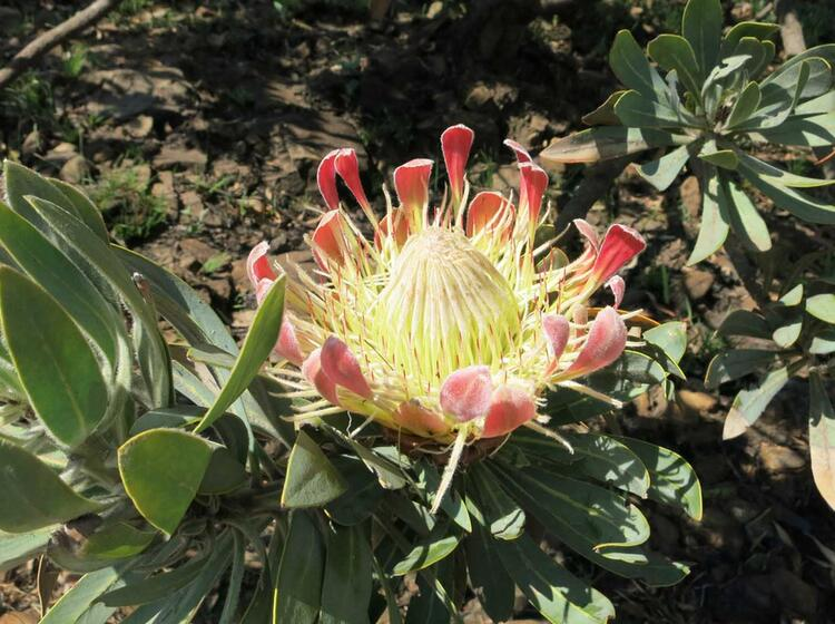Golden Gate Protea