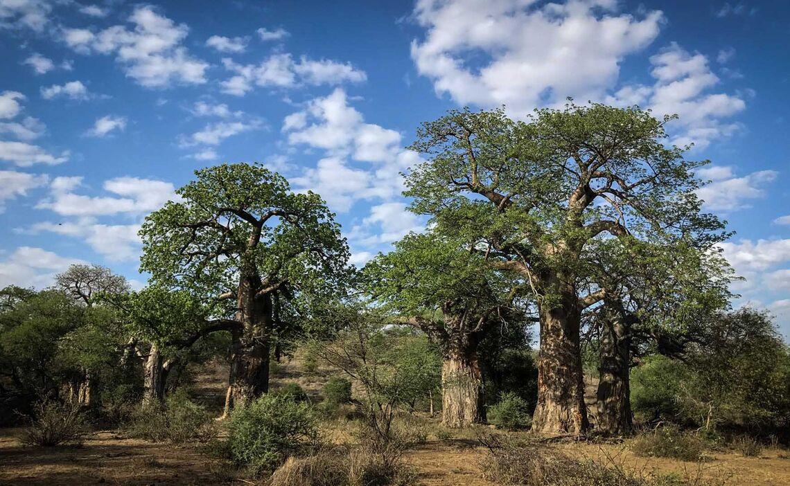 Pafuri Baobabs