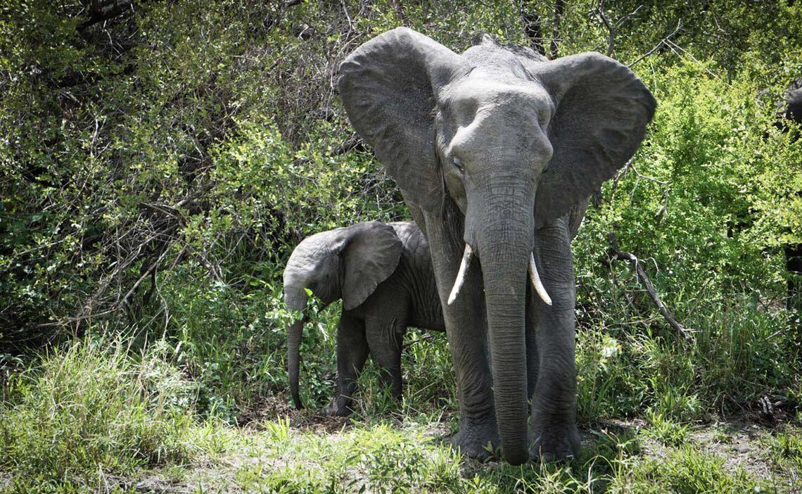 Pafuri Elefanten