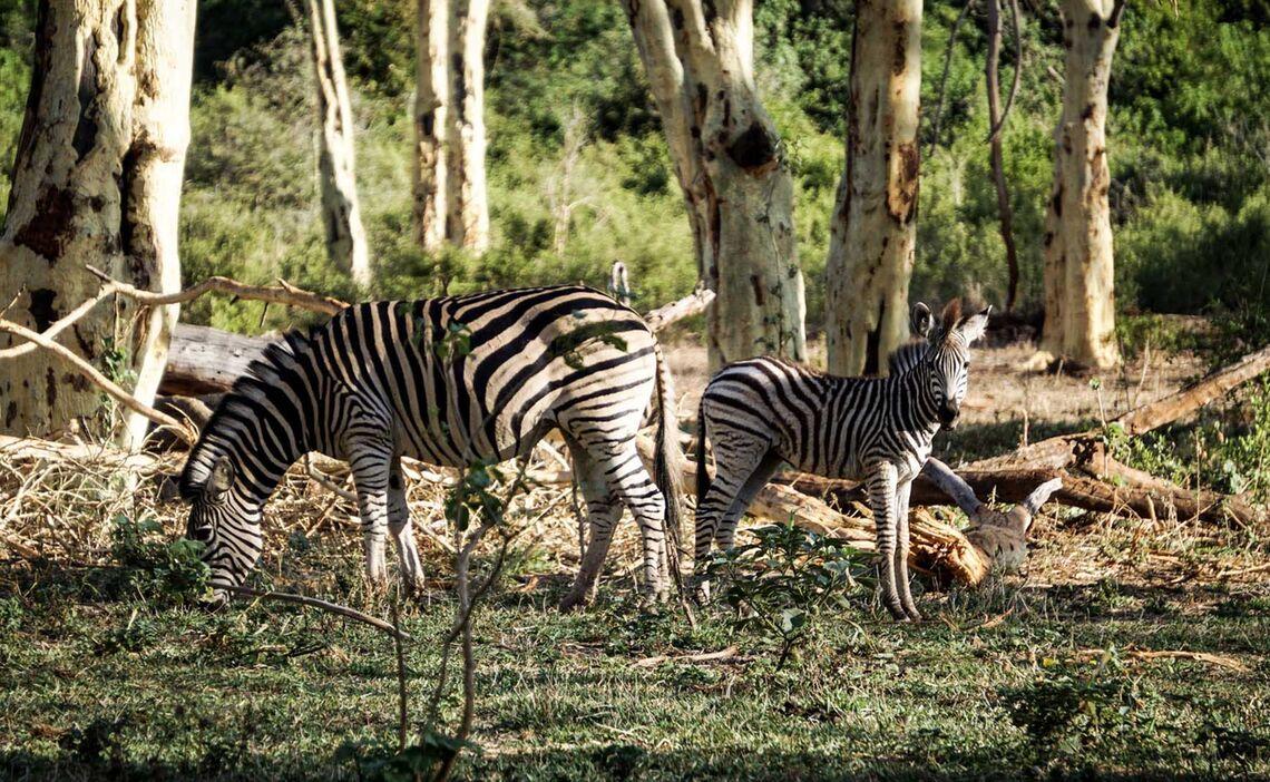 Pafuri Zebras