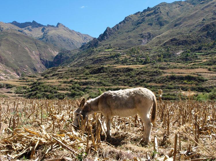 Peru Esel