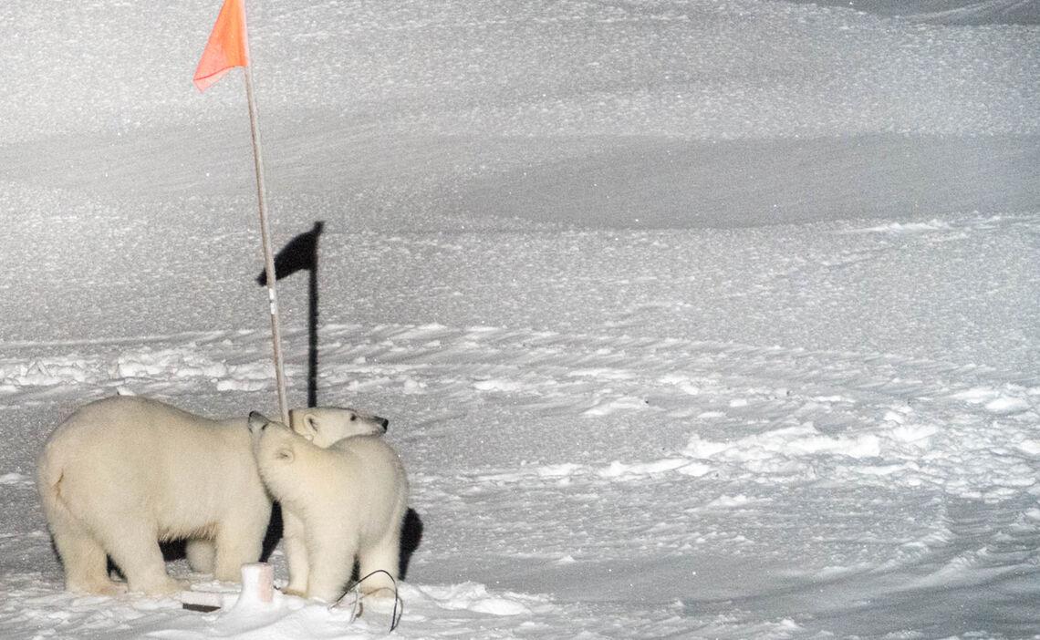 Polarbaeren Inspizieren Neugierig Den Camp Bereich Waehrend Der Mosaic Expedition Im Oktober