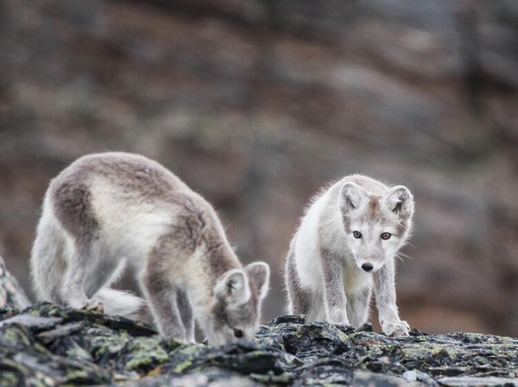 Polarfuchs Auf Spitzbergen