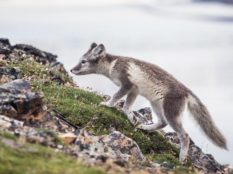 Polarfuechse Auf Spitzbergen