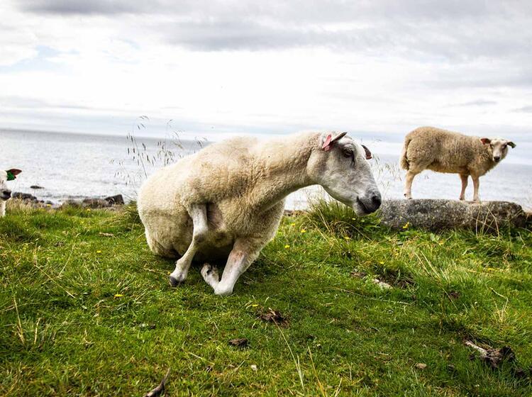 Schafe Die Pfleger Der Kulturlandschaft Lofoten