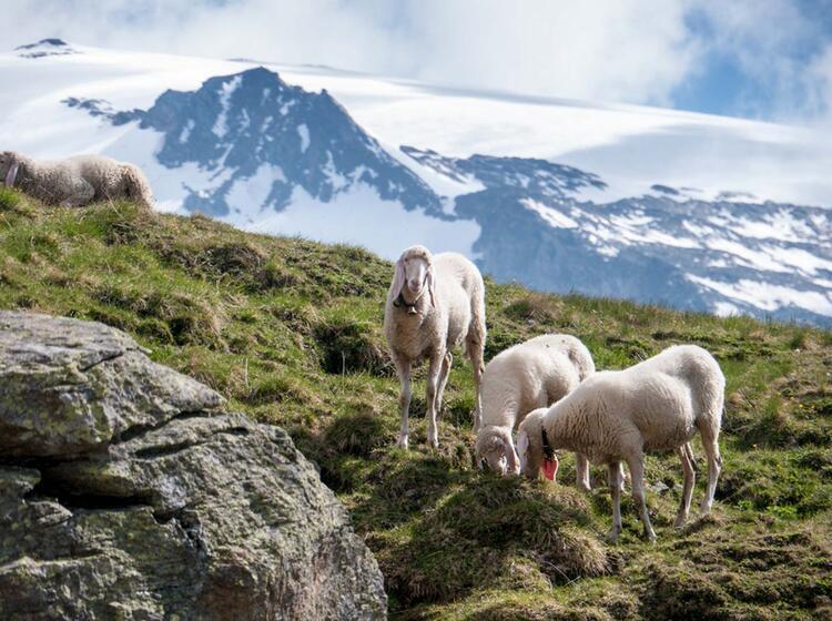 Schafe Vor Den Gletscherbergen In Den Hohen Tauern