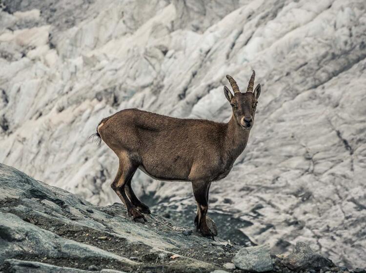 Steinbock In Zermatt Auf Der Wander Woche