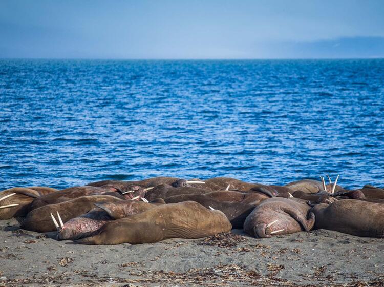 Walrosskolonie Spitzbergen