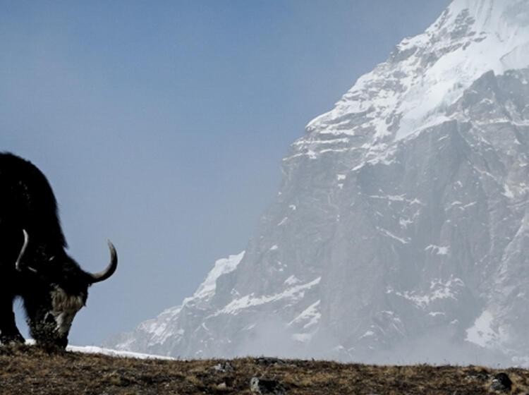 Yak Beim Grasen In Nepal