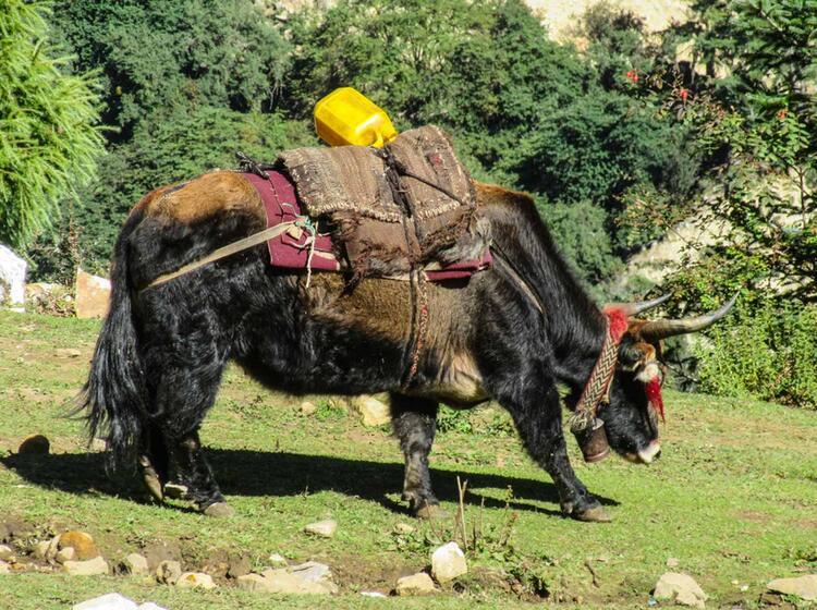Yak Im Himalaya In Nepal